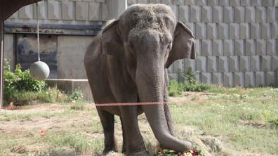 Слоницата Артайда става на 57 години