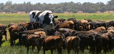 Гигантска крава се спаси от клане и част от Айфеловата кула бе продадена на търг