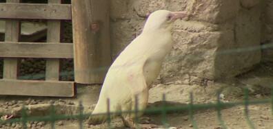 Уникален пингвин албинос и картини от кафе и какао