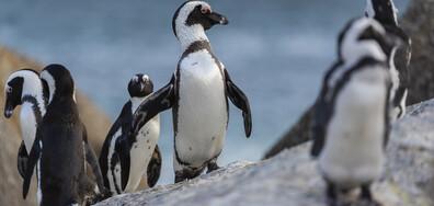Африкански пингвин по бреговете на Южна Африка
