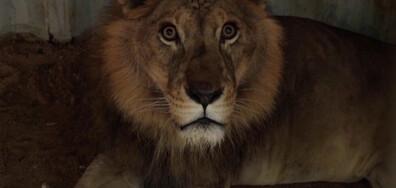 Иракчанин отглежда лъвове в дома си