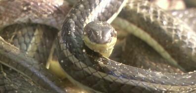 Масаж със змии облекчава болки в Египет