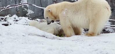 Полярни мечки се радват на снега в зоопарка в Копенхаген