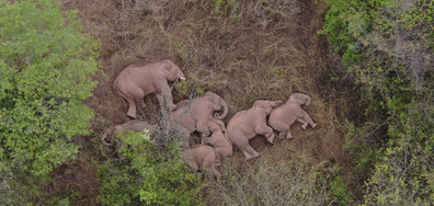Стадо диви слонове в Китай