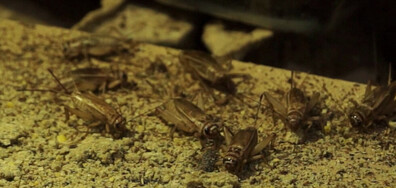 Ферма за щурци предлага високопротеиново брашно