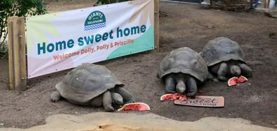 Гигантските костенурки Присила, Поли и Доли похапват диня в лондонския зоопарк